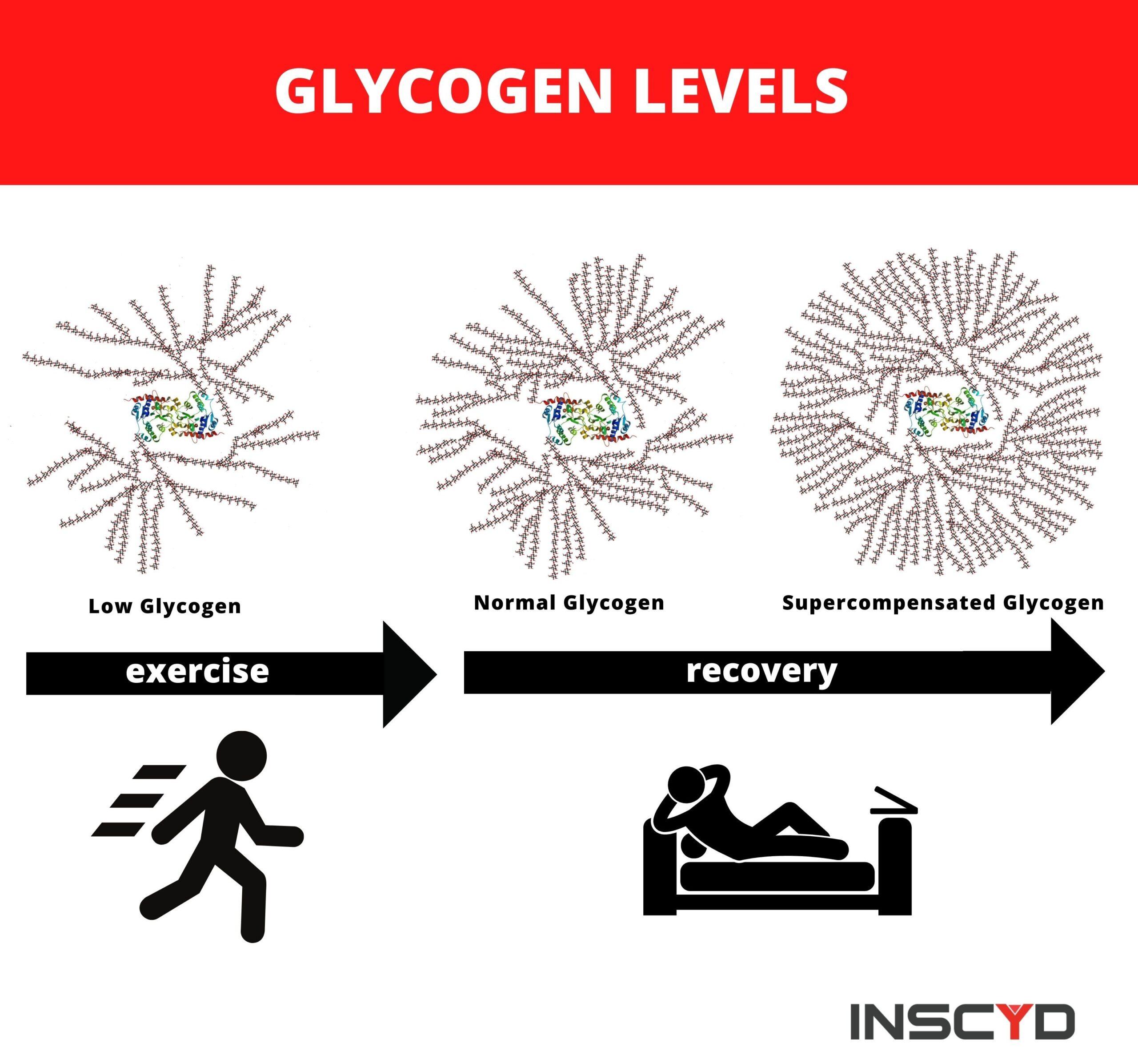 Exercise muscle glycogen content